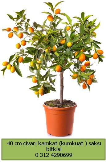 40 cm Kamkat kumkuat saksı bitkisi  ucuz çiçek gönder