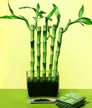 Polatlı anneler günü çiçek yolla  Good Harmony Lucky Bamboo camda