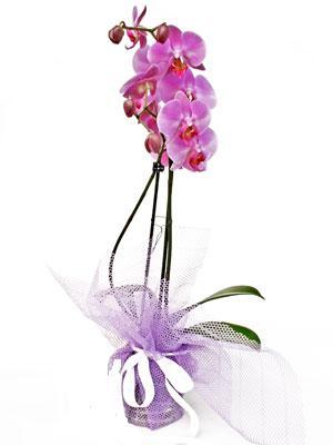 Polatlı anneler günü çiçek yolla  Kaliteli ithal saksida orkide