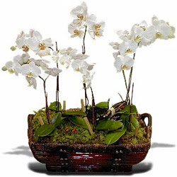 Polatlı Ankara çiçek , çiçekçi , çiçekçilik  Sepet içerisinde saksi canli 3 adet orkide