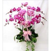 cicekciler , cicek siparisi  3 adet saksi orkide  - ithal cins -