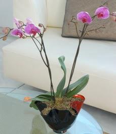 çiçekçi mağazası  tek dal ikili orkide saksi çiçegi