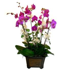 Polatlı cicek , cicekci  4 adet orkide çiçegi
