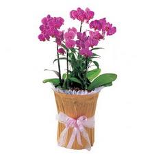 Polatlı çiçek siparişi vermek  saksi iiçerisinde 3 dal orkide