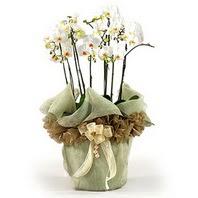 çiçek siparişi sitesi  3 dal orkide , saksi çiçegi , 3 kök orkide