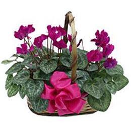 Polatlıda çiçek firması çiçek gönderme  sepet içerisinde 2 adet cyklamen saksi çiçegi