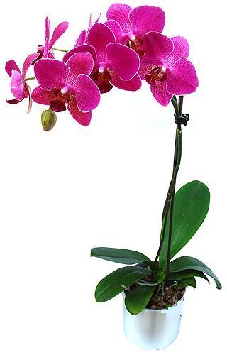 çiçekçi mağazası  saksi orkide çiçegi