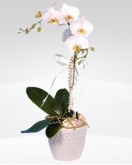 1 dallı orkide saksı çiçeği  Ankara Polatlı online çiçekçi , çiçek siparişi