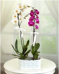 1 dal beyaz 1 dal mor yerli orkide saksıda  Polatlıdaki çiçekçiler çiçek servisi , çiçekçi adresleri