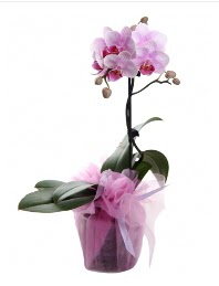 1 dal pembe orkide saksı çiçeği  Ankara Polatlı Ankara kaliteli taze ve ucuz çiçekler
