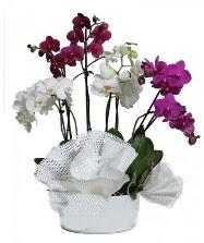 4 dal mor orkide 2 dal beyaz orkide  Polatlı anneler günü çiçek yolla
