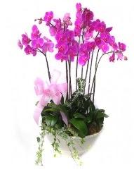 9 dal orkide saksı çiçeği  Polatlıda çiçekçi güvenli kaliteli hızlı çiçek