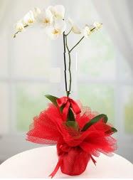 1 dal beyaz orkide saksı çiçeği  Polatlı yurtiçi ve yurtdışı çiçek siparişi