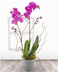 2 dallı mor orkide saksı çiçeği  ucuz çiçek gönder