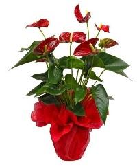 Görsel antoryum saksı çiçeği  Ankara Polatlı online çiçek gönderme sipariş