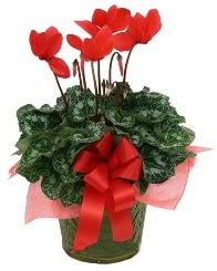 Sılkamen saksı çiçeği  Polatlı yurtiçi ve yurtdışı çiçek siparişi