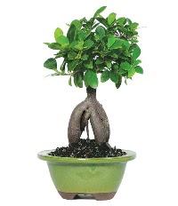 Bonsai saksı çiçeği çiçek siparişi sitesi
