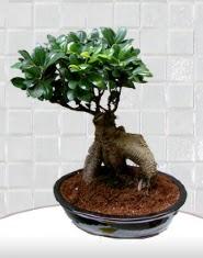 saksı çiçeği japon ağacı bonsai  Ankara Polatlı Ankara kaliteli taze ve ucuz çiçekler