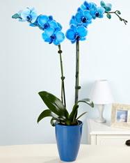 Eşsiz bir hediye 2 dallı mavi orkide  cicekciler , cicek siparisi