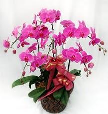 6 Dallı mor orkide çiçeği  Polatlı anneler günü çiçek yolla
