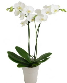 2 dallı beyaz orkide  Polatlı uluslararası çiçek gönderme