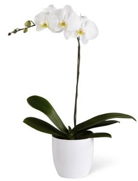 1 dallı beyaz orkide  14 şubat sevgililer günü çiçek
