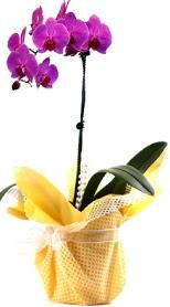 çiçek siparişi sitesi  Tek dal mor orkide saksı çiçeği