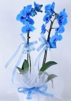 2 dallı mavi orkide  Polatlı internetten çiçek satışı