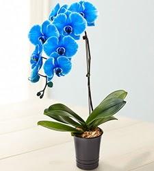 1 dallı süper eşsiz mavi orkide  Polatlıya çiçek çiçek mağazası , çiçekçi adresleri