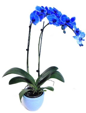Seramikli 2 dallı süper eşsiz mavi orkide  Polatlıdaki çiçekçiler çiçek servisi , çiçekçi adresleri