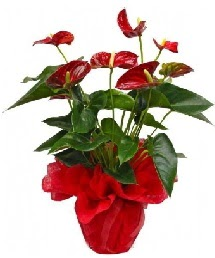 Antorium saksı çiçeği  çiçekçi mağazası