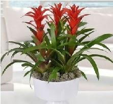3 lü Guzmanya saksı çiçek bitkisi  14 şubat sevgililer günü çiçek