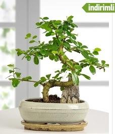 S şeklinde ithal gerçek bonsai japon ağacı  Polatlı internetten çiçek satışı