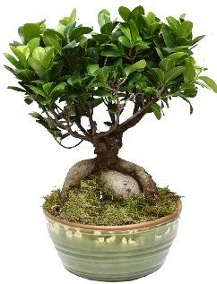 Japon ağacı bonsai saksı bitkisi  Ankara Polatlı İnternetten çiçek siparişi