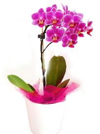 Tek dallı mor orkide  Polatlıya çiçek Ankara çiçekçi telefonları