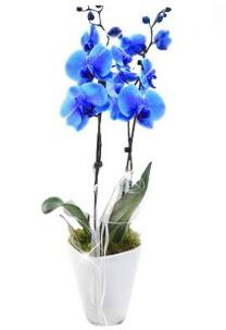 2 dallı AŞILI mavi orkide  Polatlı çiçek satışı