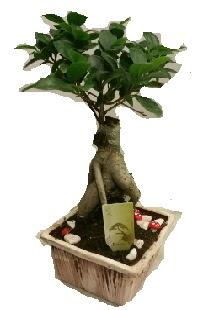 Japon ağacı bonsai seramik saksı  Polatlıya çiçek çiçek mağazası , çiçekçi adresleri