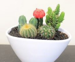 Seramik içerisinde 5 adet kaktüs  14 şubat sevgililer günü çiçek