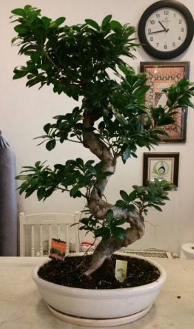 100 cm yüksekliğinde dev bonsai japon ağacı  Ankara Polatlı İnternetten çiçek siparişi