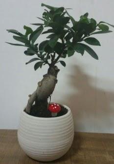Bonsai japon ağacı saksı çiçeği  Polatlı çiçek gönderme sitemiz güvenlidir