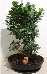 75 CM Ginseng bonsai Japon ağacı  Polatlı Ankara hediye çiçek yolla