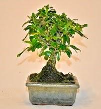 Zelco bonsai saksı bitkisi  Polatlıdaki çiçekçiler çiçek servisi , çiçekçi adresleri