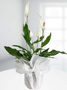 Spathiphyllum Çiçeği Barış çiçeği  Polatlı anneler günü çiçek yolla