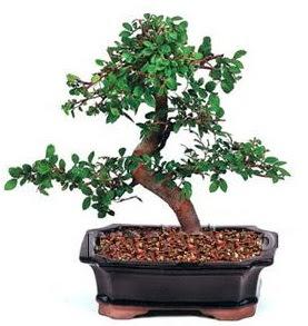 İthal bonsai japon ağacı çiçek siparişi sitesi