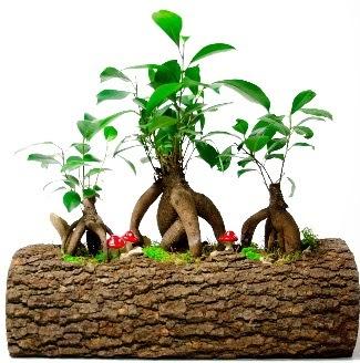 Doğal kütük içinde 3 Bonsai Japon ağacı  Polatlı internetten çiçek satışı