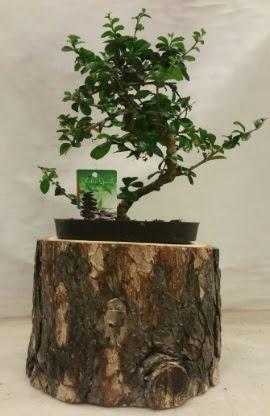 Doğal kütük içinde bonsai japon ağacı  Ankara Polatlı İnternetten çiçek siparişi