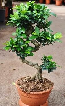Orta boy bonsai saksı bitkisi  internetten çiçek siparişi
