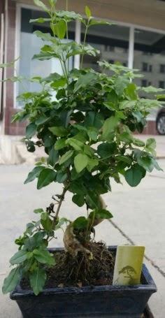 Bonsai japon ağacı saksı bitkisi  Polatlı çiçek siparişi vermek