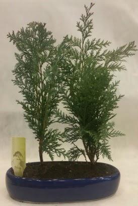 SINIRLI SAYIDA Selvi Ağacı bonsai ikili  Polatlıya çiçek Ankara çiçekçi telefonları