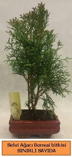 Selvi ağacı bonsai japon ağacı bitkisi  Polatlı çiçek satışı